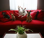 a group of chihuahua dogs sitting on a couch in a living room