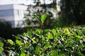 Leader Plant