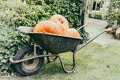 Old Wheelbarrow With Big Pumpkins