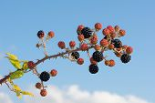 Bunch of black-berry branches