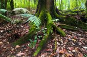 Mossy Roots Of Giant Tree And Fern Growing In Deep Mossy Tropical Rain Forest. Nature Background