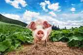 stock photo of pig-breeding  - Cute pig grazing at summer meadow at mountains pasturage under blue sky - JPG