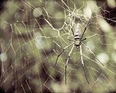 Large Tropical Spider In The Web