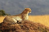 stock photo of nationalism  - A cheetah  - JPG