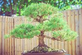 foto of bonsai  - Bonsai Pine Tree with Wooden Fence in the Background - JPG
