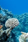 coral reef with hard coral at the bottom of tropical sea on blue water background