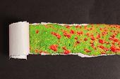 Beautiful poppy flowers field through torn black paper