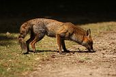 Red Fox Sniffing