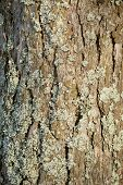 Pine-tree bark covered with lichen