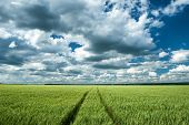 green wheat field and blue sky spring landscape