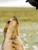 Funny Surprising Marmot On The Meadow Looking Into The Lens