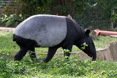 tapir foraging for food in the day