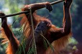 young orangutan climbing and hanging on tree branch, soft focus