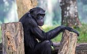 alpha male chimpanzee resting on tree trunks