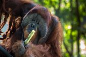 alpha male orangutan feeding on sugar cane