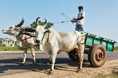 TAMIL NADU, INDIA - SEPTEMBER 12, 2009: Unidentified indian man on cart with yoke of oxen. Cartage is still a common means of transport in India especially in rural areas