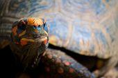 Orange Tortoise