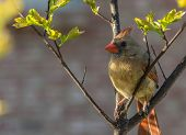 image of crepe myrtle  - Portrait of female cardinal in a freshly blooming crepe myrtle bush - JPG