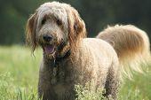 Happy Goldendoodle