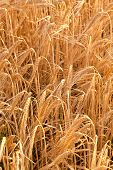Corn Field Detail Before Crop