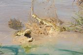 Two Nile Crocodiles Fighting, South Africa