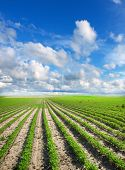 image of soybeans  - Soybean Field Rows in summer - JPG