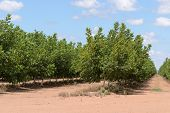 foto of walnut-tree  - closeup of young walnut trees in a rural plantation - JPG