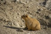 foto of marmot  - Funny marmot peeking out of a burrow. 
