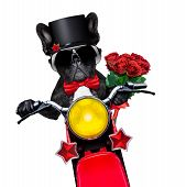 picture of vespa  - valentines french bulldog dog riding a motorbike holding a bunch of red roses isolated on white background - JPG