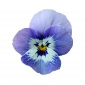 Isolated Pansy