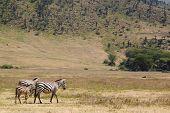 Family Common Zebras In Ngorongoro