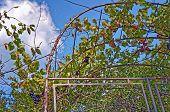 Grape Vine Against Blue Sky