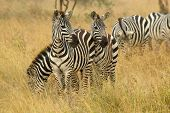 image of common  - A herd of common zebras Equus Quagga grazing in the savannah Serengeti National Park Tanzania