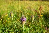 Beautiful Thistle In The Meadow