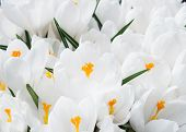 White Crocuses In Spring Day Close Up