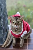 Santa Ordinary Cat