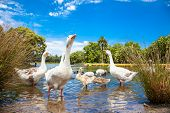 picture of baby goose  - Goose family in pond on sunny day - JPG