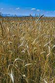 Golden grain land