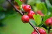 Apples branch
