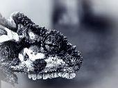 African Dwarf Chameleon