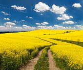 pic of turnip greens  - Field of rapeseed with rural path and beautiful cloud  - JPG