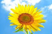 Grote, heldere bloem zonnebloem