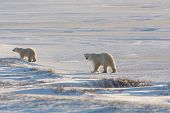 Female Polar Bear And Cub