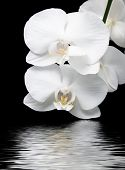 White Orchids Reflecting In Water