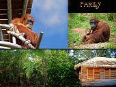 Concepto de familia de orangután