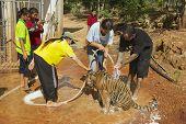 People wash Indochinese tiger in Saiyok, Thailand.