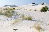 foto of dune grass  - Grass growing out of the sand and dunes - JPG