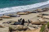 California sea lions on the beach