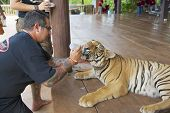 People feed Indochinese tiger with milk in Saiyok, Thailand.