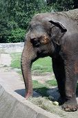 stock photo of zoo  - Elephant in the Zoo park - JPG